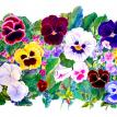 Pansy